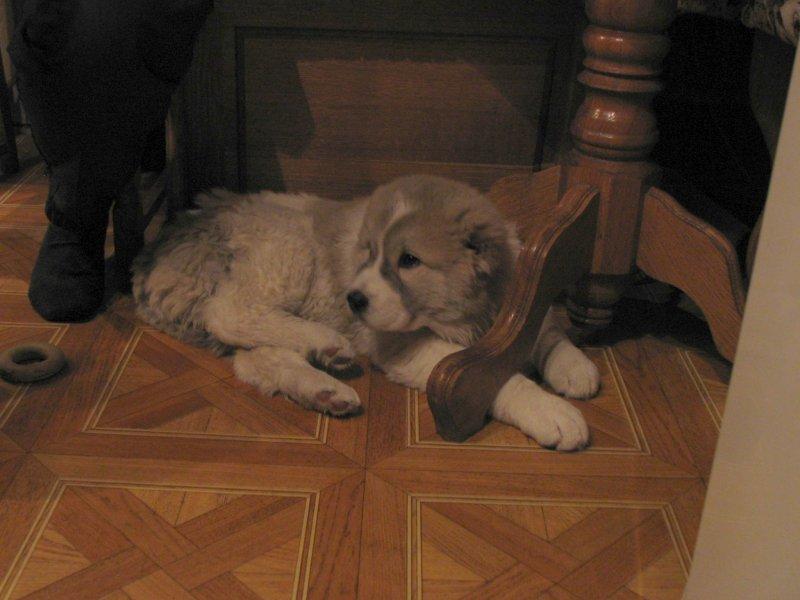 ...помесь боксера со стафордом- мой самый любимый.. поэтому его будет много.. а этот щенок