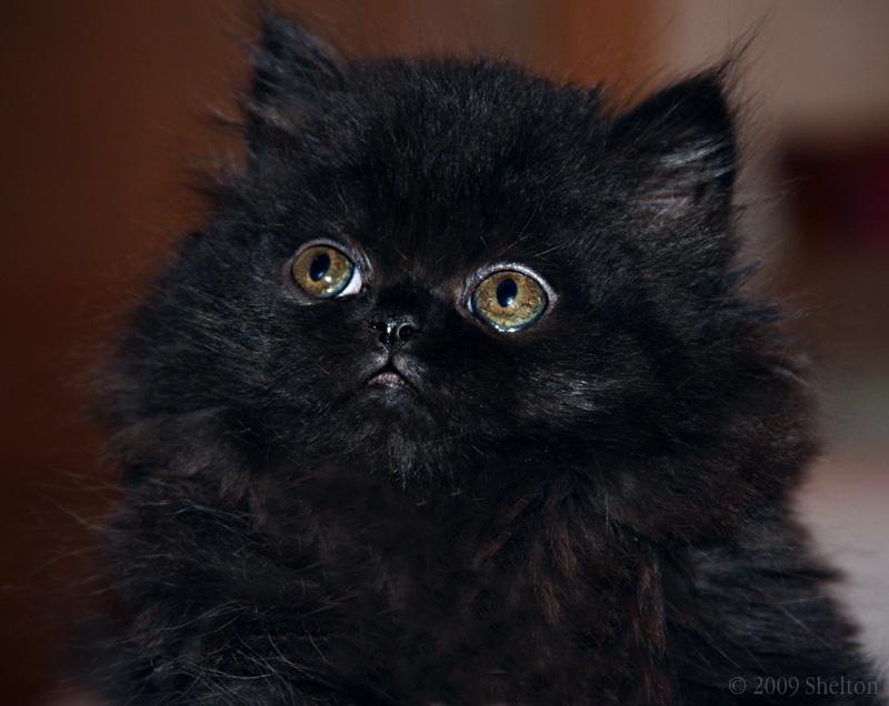 черный персидский котенок фото гамбургеры