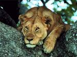 Young_Lioness