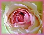 RosesSpring